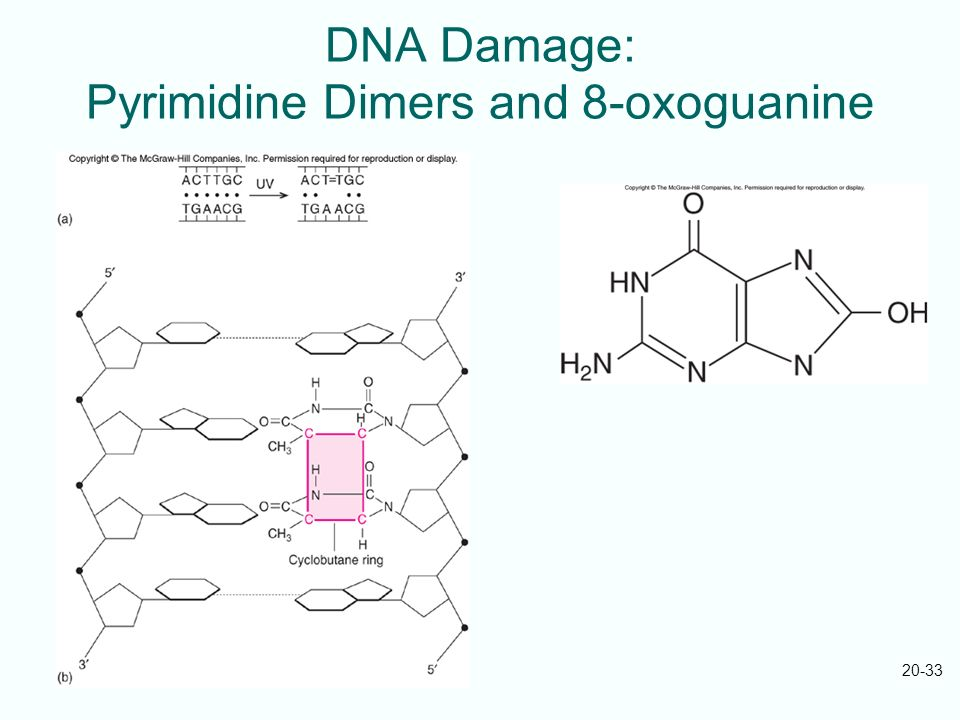 DNA Damage: Pyrimidine Dimers and 8-oxoguanine