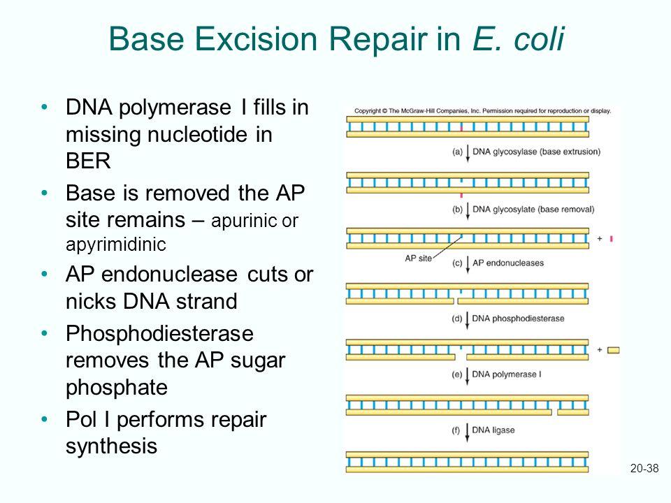 Base Excision Repair in E. coli