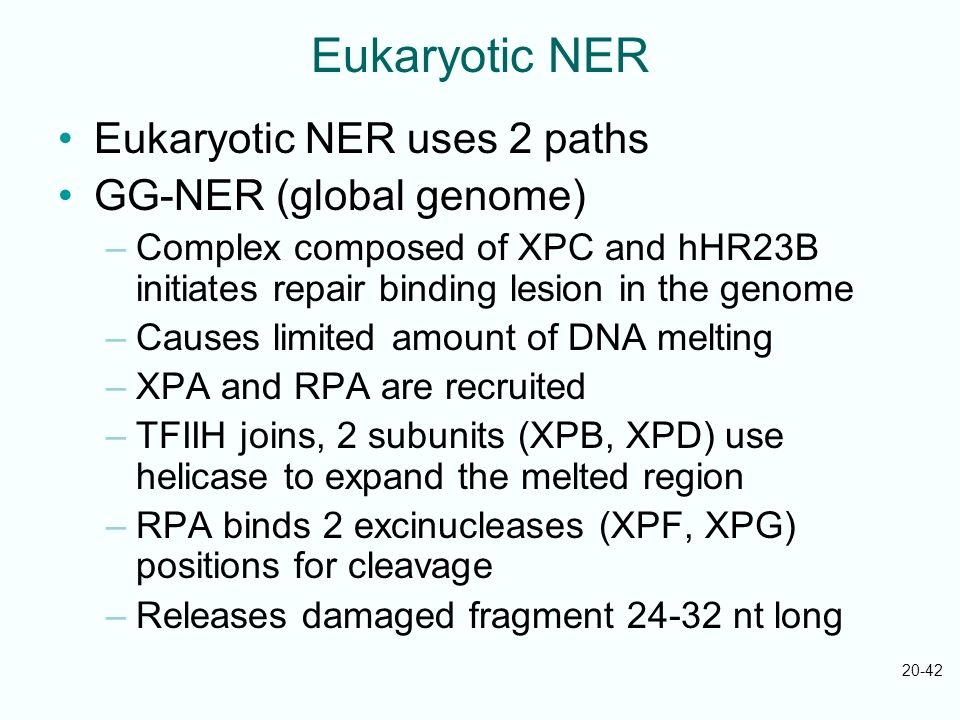 Eukaryotic NER Eukaryotic NER uses 2 paths GG-NER (global genome)