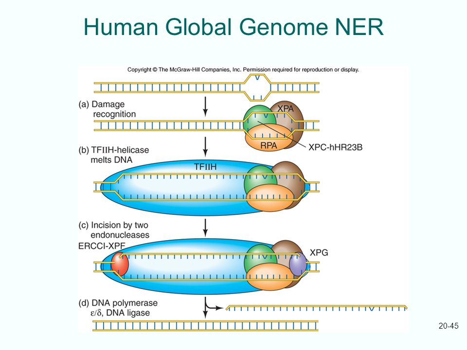 Human Global Genome NER
