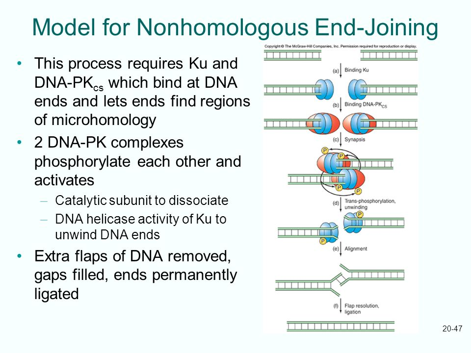 Model for Nonhomologous End-Joining