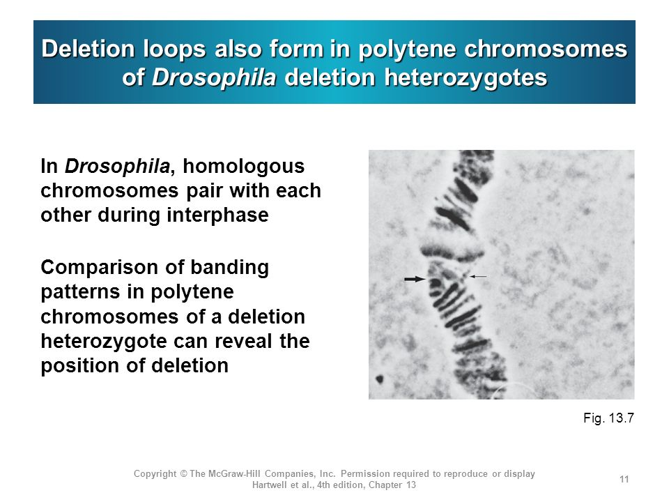 Deletion loops also form in polytene chromosomes of Drosophila deletion heterozygotes
