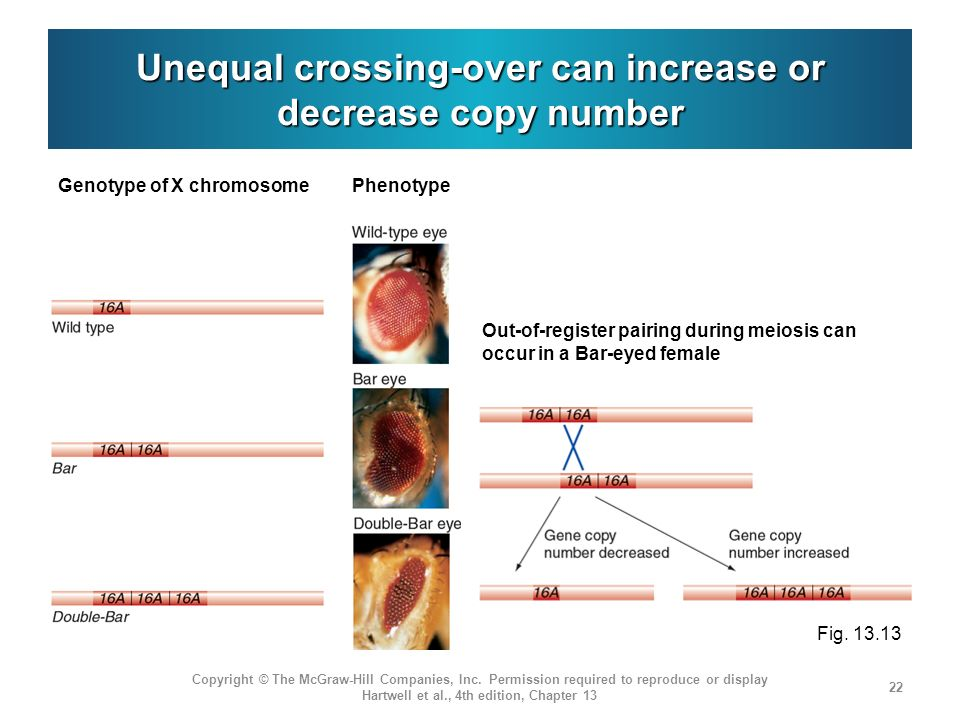 Unequal crossing-over can increase or decrease copy number