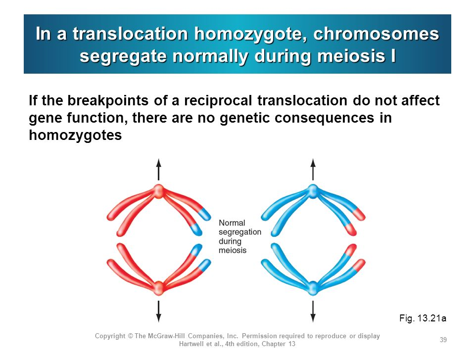 In a translocation homozygote, chromosomes segregate normally during meiosis I