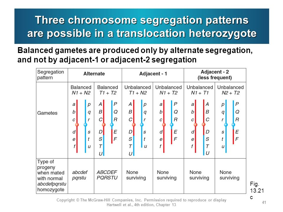 Three chromosome segregation patterns are possible in a translocation heterozygote