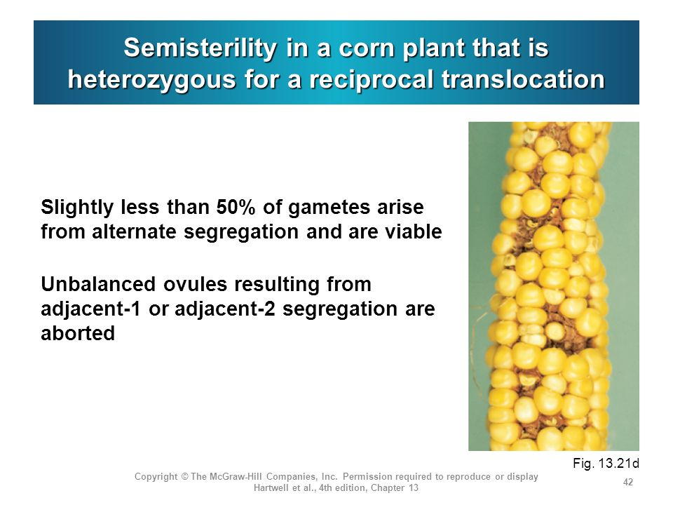 Semisterility in a corn plant that is heterozygous for a reciprocal translocation