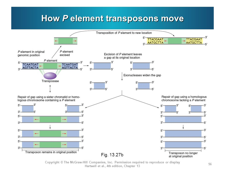 How P element transposons move