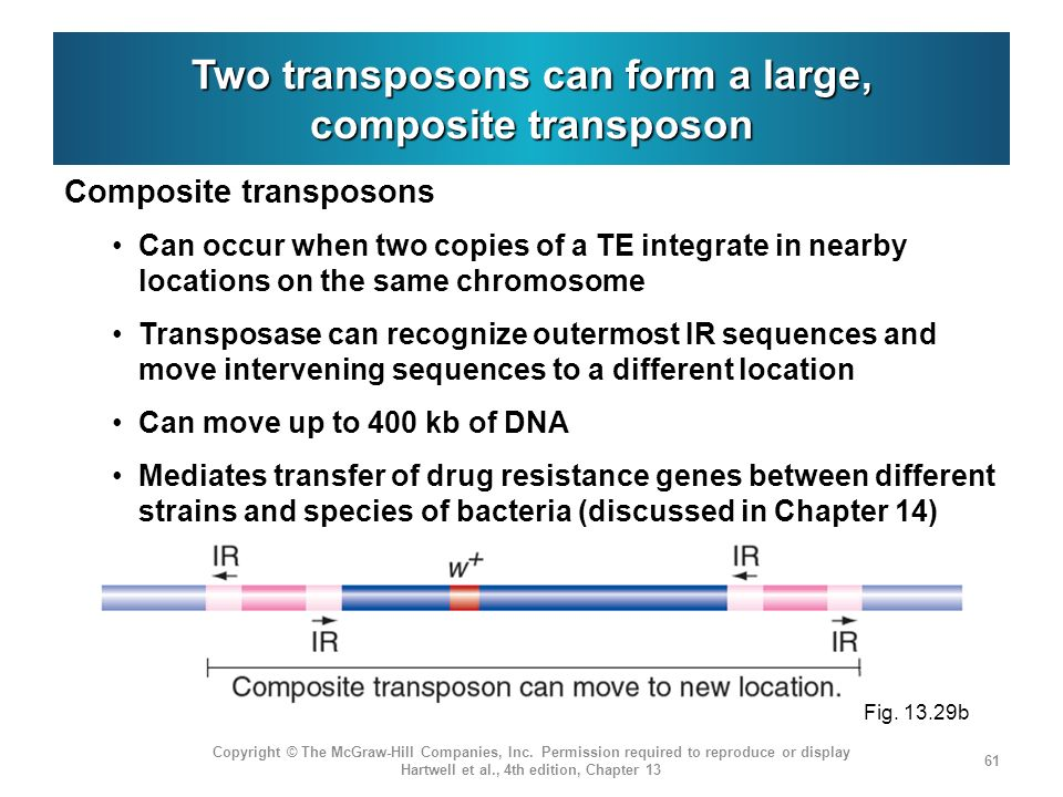 Two transposons can form a large, composite transposon