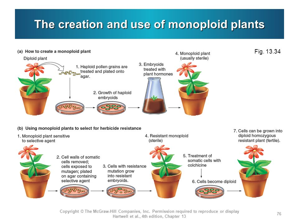 The creation and use of monoploid plants