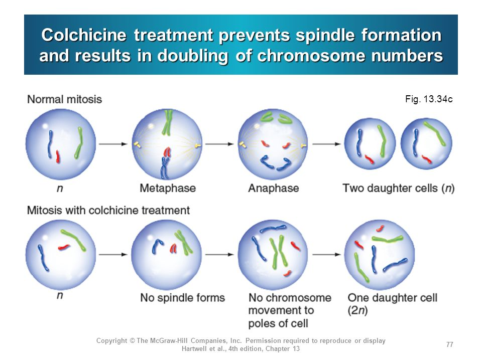Colchicine treatment prevents spindle formation and results in doubling of chromosome numbers