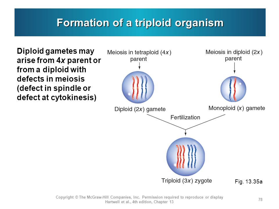 Formation of a triploid organism
