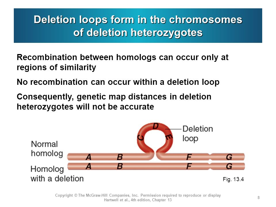 Deletion loops form in the chromosomes of deletion heterozygotes