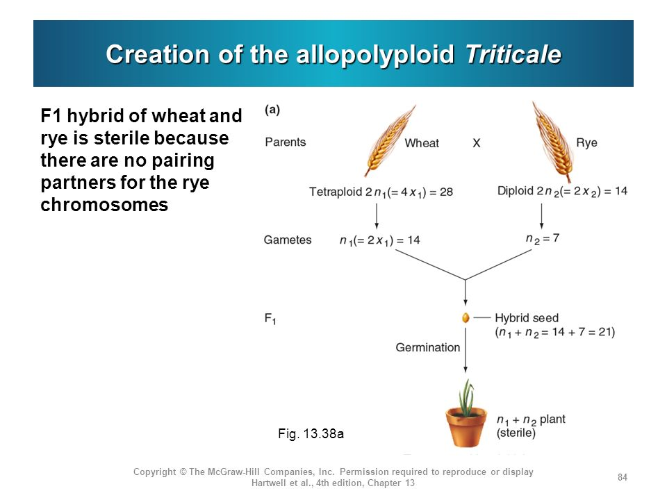Creation of the allopolyploid Triticale