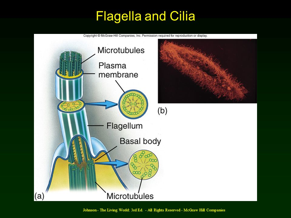 Flagella and Cilia Johnson - The Living World: 3rd Ed.