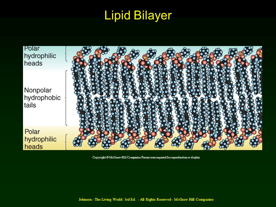 Lipid Bilayer Copyright © McGraw-Hill Companies Permission required for reproduction or display.