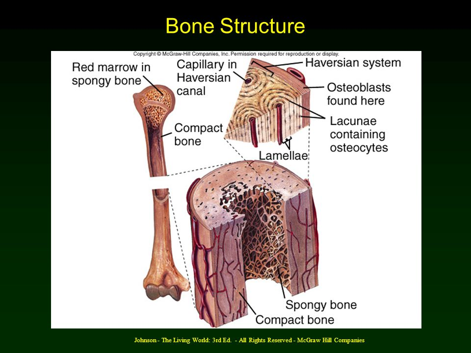 Bone Structure Johnson - The Living World: 3rd Ed. - All Rights Reserved - McGraw Hill Companies
