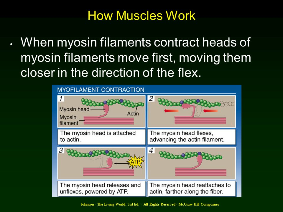 How Muscles Work When myosin filaments contract heads of myosin filaments move first, moving them closer in the direction of the flex.