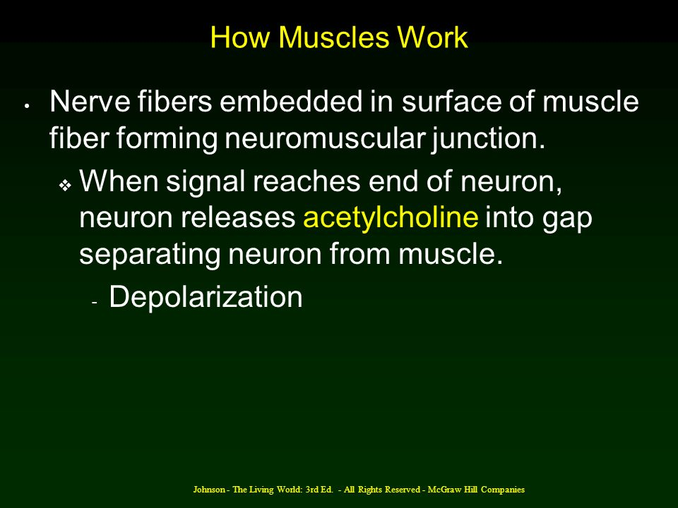 How Muscles Work Nerve fibers embedded in surface of muscle fiber forming neuromuscular junction.