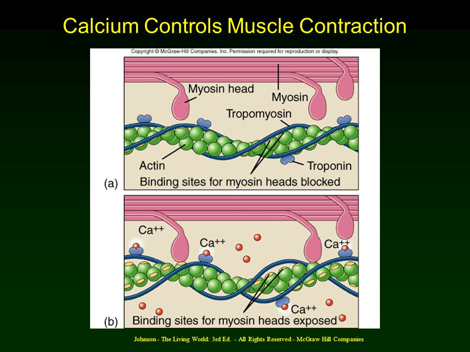 Calcium Controls Muscle Contraction