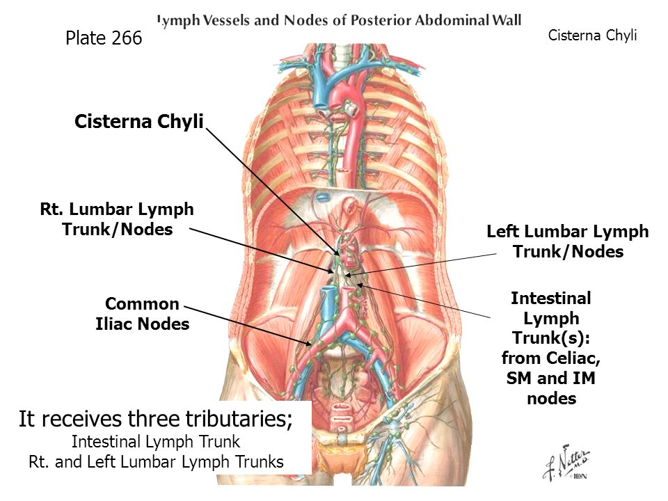 posterior abdominal wall diaphragm lymphatics and nerves - ppt, Human Body