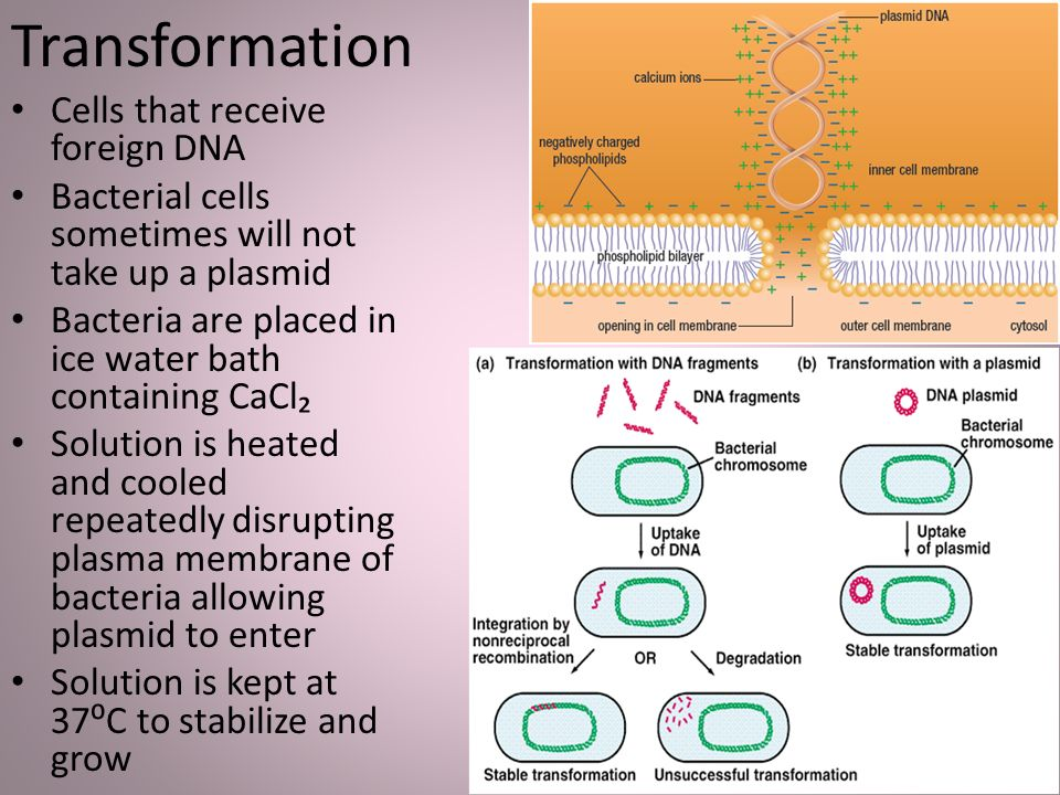 the experiment procedure of the identification of an unknown plasmid in the restriction enzyme inter Isolation and electrophoresis of plasmid dna in the procedure today you will break open the cells in an alkaline what distinguishes the restriction enzyme used in this experiment ecori from other types of restriction enzymes 5.
