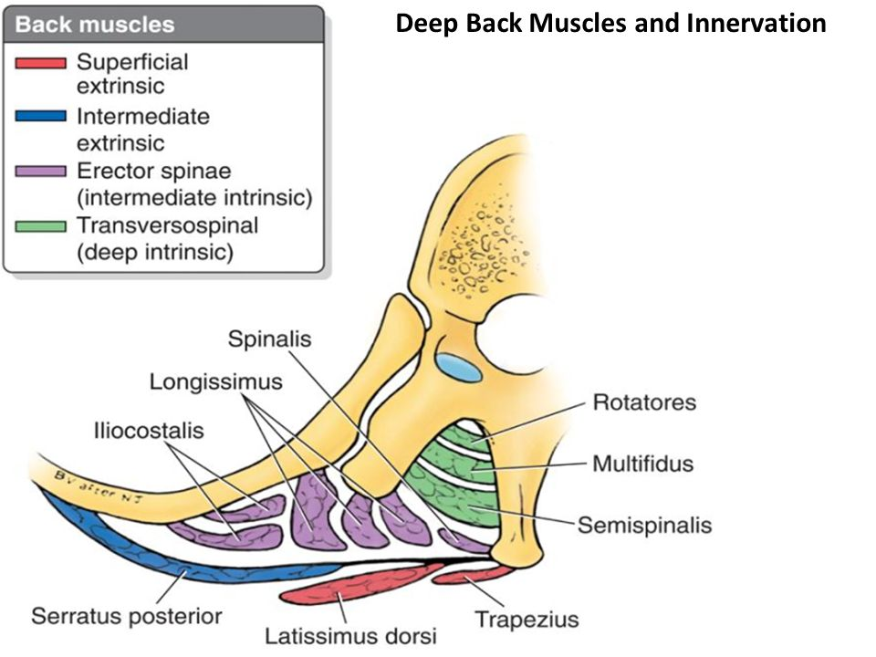 Deep back muscles anatomy