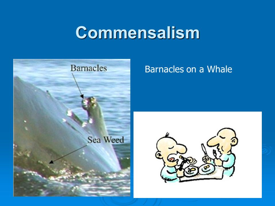 Commensalism Barnacles on a Whale