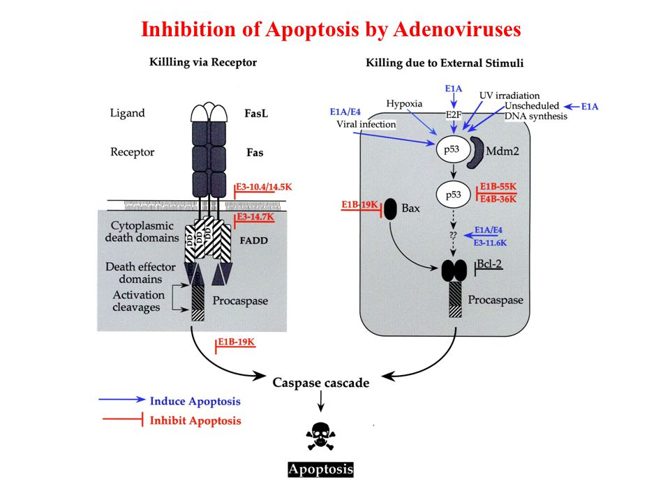 Inhibition of Apoptosis by Adenoviruses