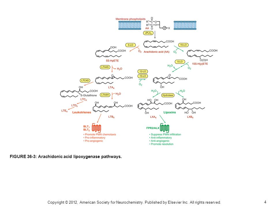 FIGURE 36-3: Arachidonic acid lipoxygenase pathways.