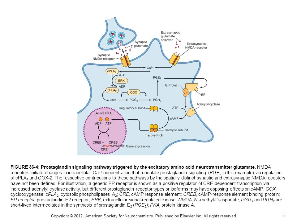 FIGURE 36-4: Prostaglandin signaling pathway triggered by the excitatory amino acid neurotransmitter glutamate. NMDA receptors initiate changes in intracellular Ca2+ concentration that modulate prostaglandin signaling (PGE2 in this example) via regulation of cPLA2 and COX-2. The respective contributions to these pathways by the spatially distinct synaptic and extrasynaptic NMDA receptors have not been defined. For illustration, a generic EP receptor is shown as a positive regulator of CRE-dependent transcription via increased adenylyl cyclase activity, but different prostaglandin receptor types or isoforms may have opposing effects on cAMP. COX, cyclooxygenase; cPLA2, cytosolic phospholipases A2; CRE, cAMP response element; CREB, cAMP-response element binding protein; EP receptor, prostaglandin E2 receptor; ERK, extracellular signal-regulated kinase; NMDA, N -methyl-D-aspartate; PGG2 and PGH2 are short-lived intermediates in the synthesis of prostaglandin E2 (PGE2); PKA, protein kinase A.