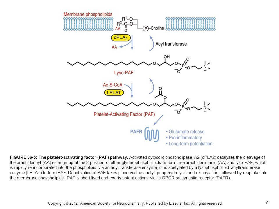 FIGURE 36-5: The platelet-activating factor (PAF) pathway