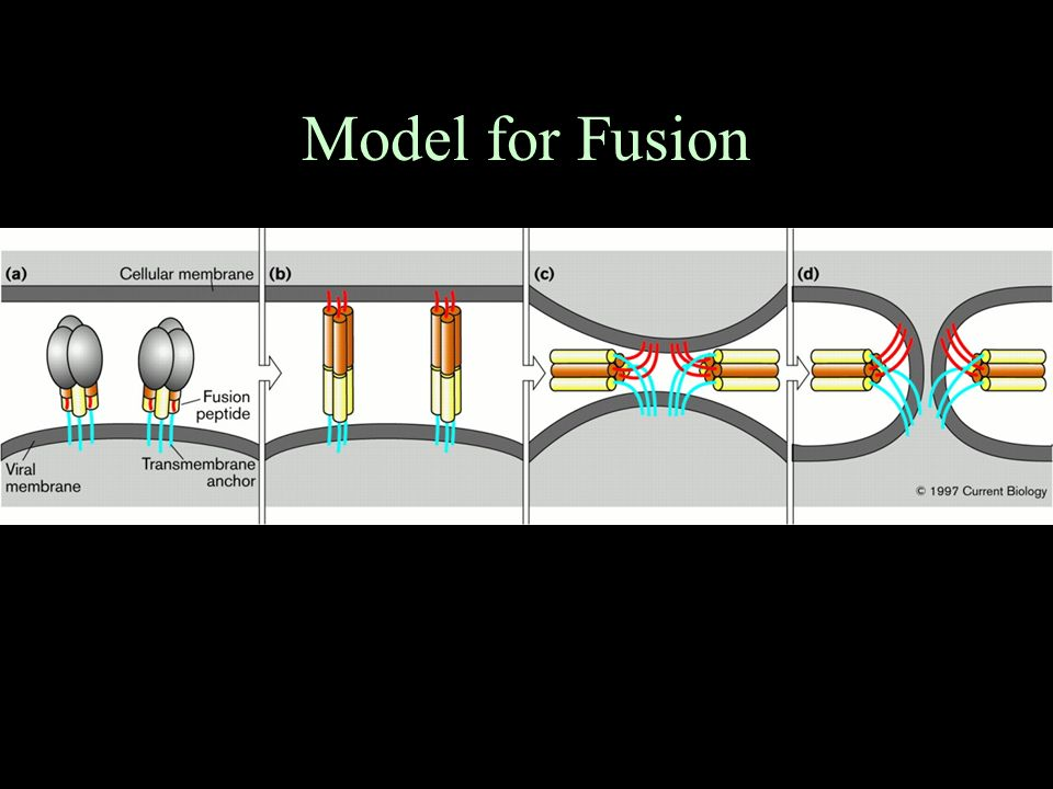 Model for Fusion