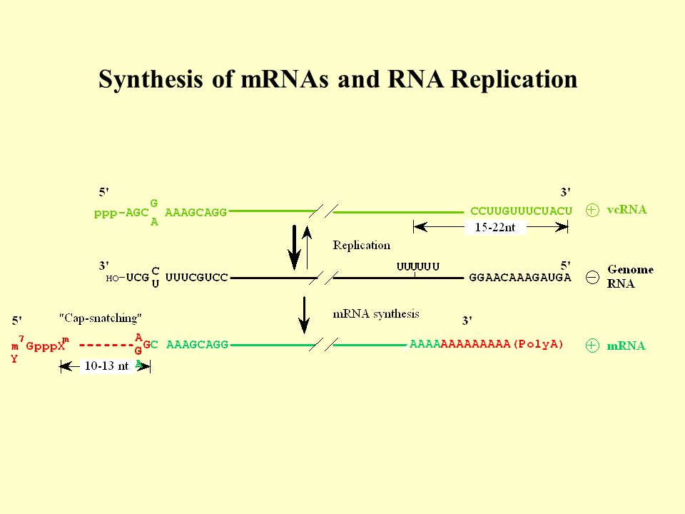 Synthesis of mRNAs and RNA Replication