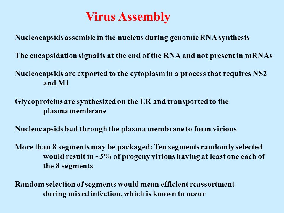 Virus AssemblyNucleocapsids assemble in the nucleus during genomic RNA synthesis.
