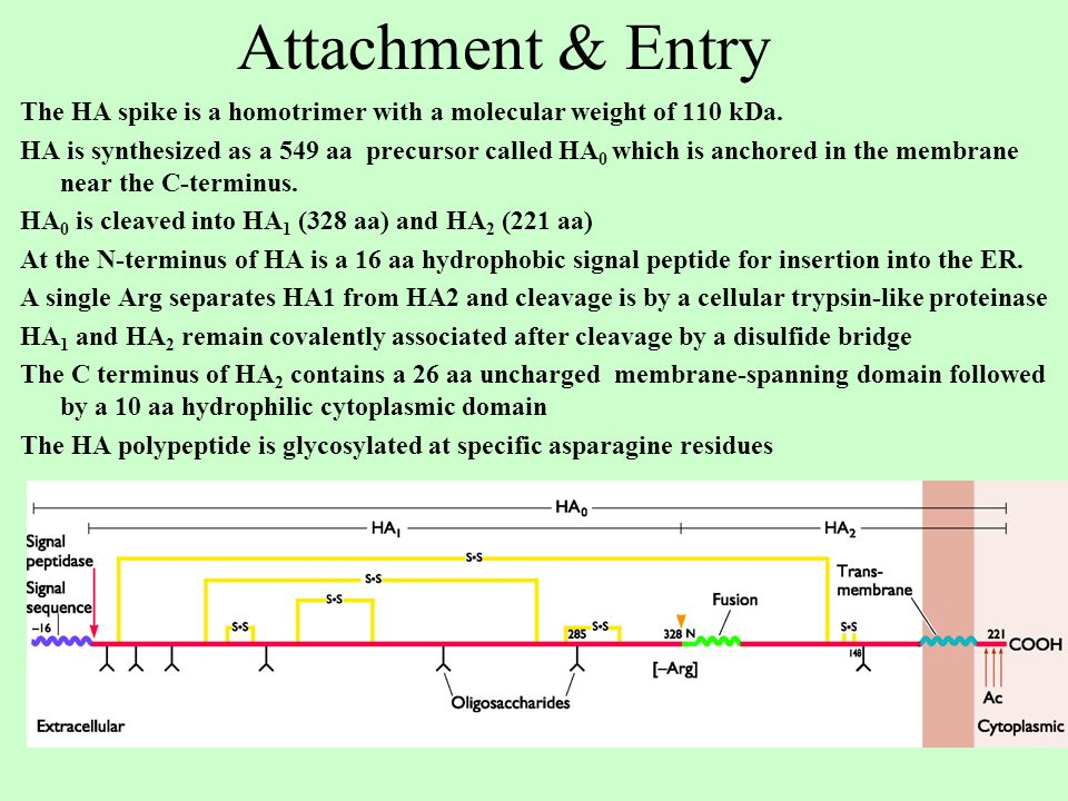 Attachment & Entry The HA spike is a homotrimer with a molecular weight of 110 kDa.