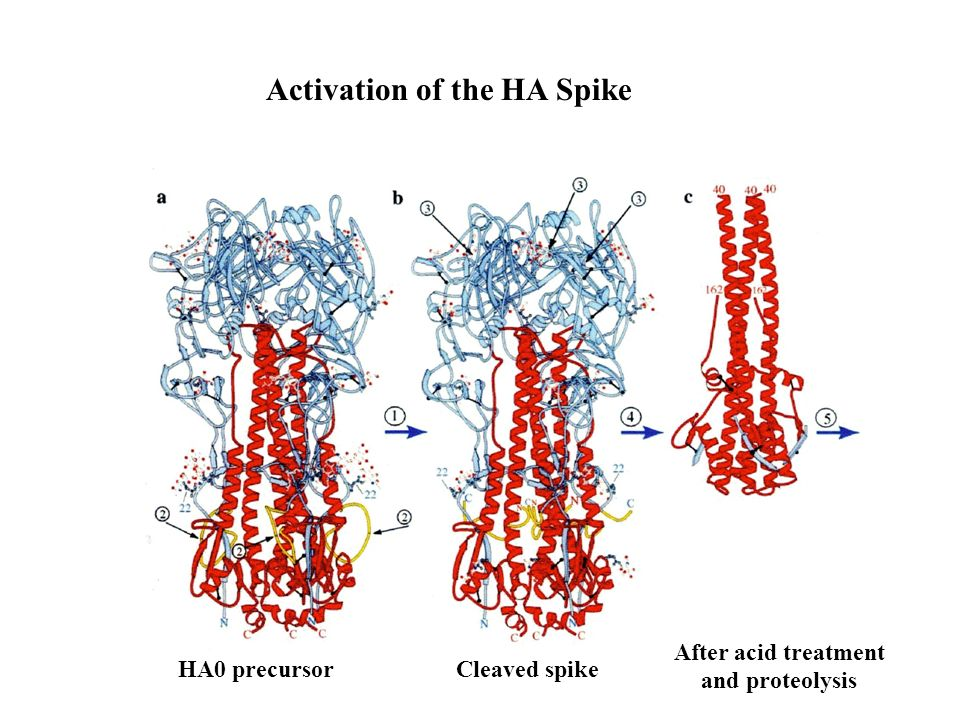 Activation of the HA Spike
