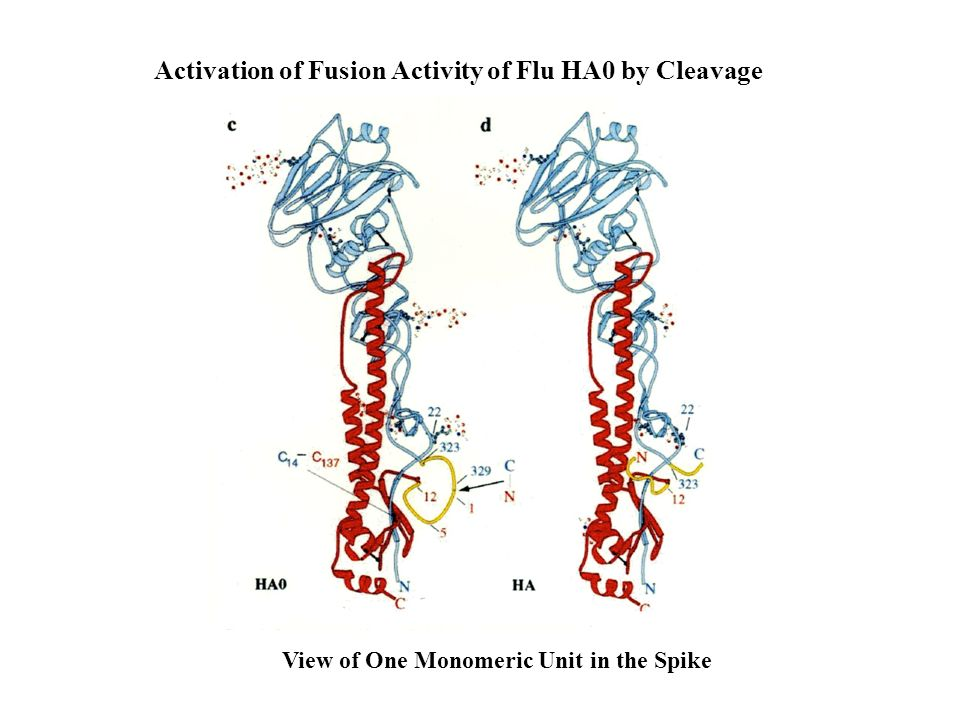 Activation of Fusion Activity of Flu HA0 by Cleavage