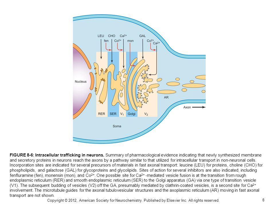 FIGURE 8-6: Intracellular trafficking in neurons