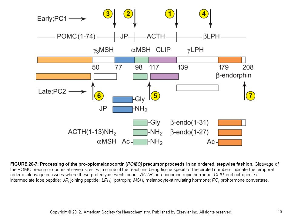 FIGURE 20-7: Processing of the pro-opiomelanocortin (POMC) precursor proceeds in an ordered, stepwise fashion. Cleavage of the POMC precursor occurs at seven sites, with some of the reactions being tissue specific. The circled numbers indicate the temporal order of cleavage in tissues where these proteolytic events occur. ACTH, adrenocorticotropic hormone; CLIP, corticotropin-like intermediate lobe peptide; JP, joining peptide; LPH, lipotropin; MSH, melanocyte-stimulating hormone; PC, prohormone convertase.