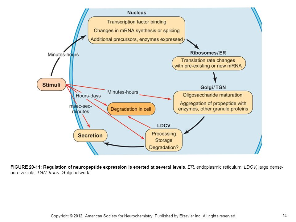FIGURE 20-11: Regulation of neuropeptide expression is exerted at several levels. ER, endoplasmic reticulum; LDCV, large dense-core vesicle; TGN, trans -Golgi network.