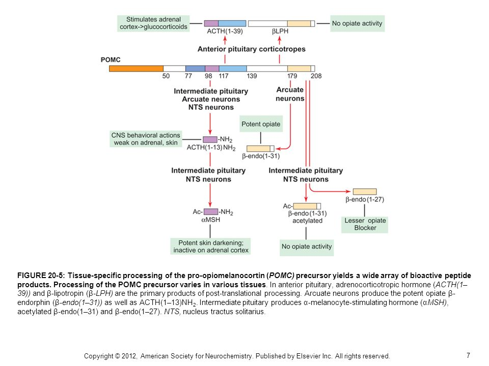 FIGURE 20-5: Tissue-specific processing of the pro-opiomelanocortin (POMC) precursor yields a wide array of bioactive peptide products. Processing of the POMC precursor varies in various tissues. In anterior pituitary, adrenocorticotropic hormone (ACTH(1–39)) and β-lipotropin (β-LPH) are the primary products of post-translational processing. Arcuate neurons produce the potent opiate β-endorphin (β-endo(1–31)) as well as ACTH(1–13)NH2. Intermediate pituitary produces α-melanocyte-stimulating hormone (αMSH), acetylated β-endo(1–31) and β-endo(1–27). NTS, nucleus tractus solitarius.