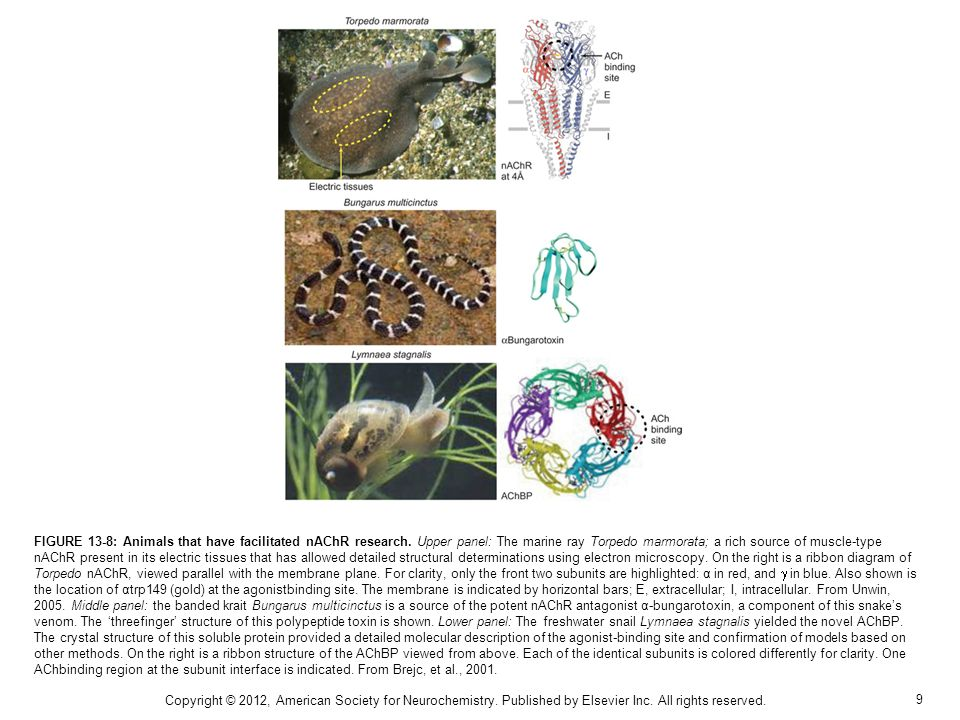 FIGURE 13-8: Animals that have facilitated nAChR research