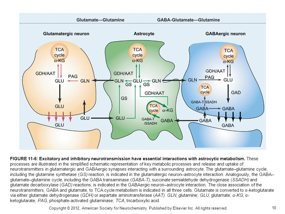 FIGURE 11-6: Excitatory and inhibitory neurotransmission have essential interactions with astrocytic metabolism. These processes are illustrated in the simplified schematic representation of key metabolic processes and release and uptake of neurotransmitters in glutamatergic and GABAergic synapses interacting with a surrounding astrocyte. The glutamate–glutamine cycle, including the glutamine synthetase (GS) reaction, is indicated in the glutamatergic neuron–astrocyte interaction. Analogously, the GABA–glutamate–glutamine cycle, including the GABA transaminase (GABA-T), succinate semialdehyde dehydrogenase (SSADH) and glutamate decarboxylase (GAD) reactions, is indicated in the GABAergic neuron–astrocyte interaction. The close association of the neurotransmitters, GABA and glutamate, to TCA cycle metabolism is indicated in all three cells. Glutamate is converted to α-ketoglutarate via either glutamate dehydrogenase (GDH) or aspartate aminotransferase (AAT). GLN, glutamine; GLU, glutamate; α-KG, α-ketoglutarate; PAG, phosphate-activated glutaminase; TCA, tricarboxylic acid.