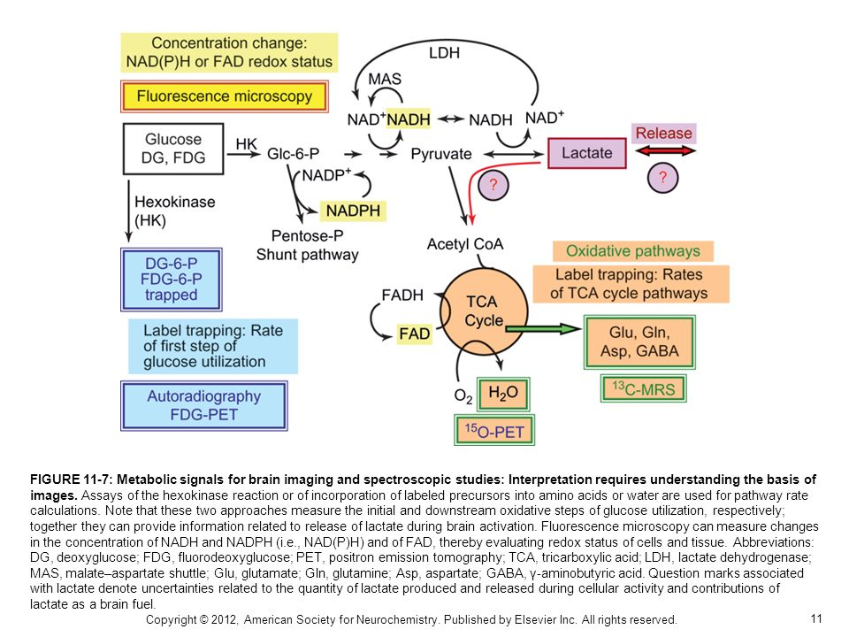FIGURE 11-7: Metabolic signals for brain imaging and spectroscopic studies: Interpretation requires understanding the basis of images. Assays of the hexokinase reaction or of incorporation of labeled precursors into amino acids or water are used for pathway rate calculations. Note that these two approaches measure the initial and downstream oxidative steps of glucose utilization, respectively; together they can provide information related to release of lactate during brain activation. Fluorescence microscopy can measure changes in the concentration of NADH and NADPH (i.e., NAD(P)H) and of FAD, thereby evaluating redox status of cells and tissue. Abbreviations: DG, deoxyglucose; FDG, fluorodeoxyglucose; PET, positron emission tomography; TCA, tricarboxylic acid; LDH, lactate dehydrogenase; MAS, malate–aspartate shuttle; Glu, glutamate; Gln, glutamine; Asp, aspartate; GABA, γ-aminobutyric acid. Question marks associated with lactate denote uncertainties related to the quantity of lactate produced and released during cellular activity and contributions of lactate as a brain fuel.