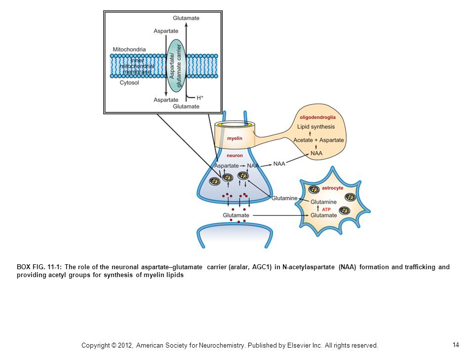 BOX FIG. 11-1: The role of the neuronal aspartate–glutamate carrier (aralar, AGC1) in N-acetylaspartate (NAA) formation and trafficking and providing acetyl groups for synthesis of myelin lipids