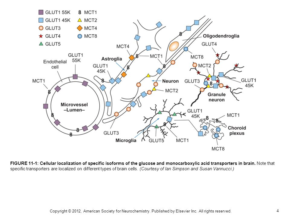 FIGURE 11-1: Cellular localization of specific isoforms of the glucose and monocarboxylic acid transporters in brain. Note that specific transporters are localized on different types of brain cells. (Courtesy of Ian Simpson and Susan Vannucci.)