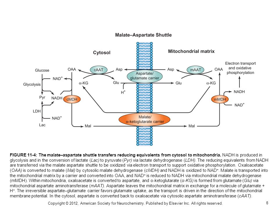 FIGURE 11-4: The malate–aspartate shuttle transfers reducing equivalents from cytosol to mitochondria. NADH is produced in glycolysis and in the conversion of lactate (Lac) to pyruvate (Pyr) via lactate dehydrogenase (LDH). The reducing equivalents from NADH are transferred via the malate aspartate shuttle to be oxidized via electron transport to support oxidative phosphorylation. Oxaloacetate (OAA) is converted to malate (Mal) by cytosolic malate dehydrogenase (cMDH) and NADH is oxidized to NAD+. Malate is transported into the mitochondrial matrix by a carrier and converted into OAA, and NAD+ is reduced to NADH via mitochondrial malate dehydrogenase (mMDH). Within mitochondria, oxaloacetate is converted to aspartate, and α-ketoglutarate (α-KG) is formed from glutamate (Glu) via mitochondrial aspartate aminotransferase (mAAT). Aspartate leaves the mitochondrial matrix in exchange for a molecule of glutamate + H+. The irreversible aspartate–glutamate carrier favors glutamate uptake, as the transport is driven in the direction of the mitochondrial membrane potential. In the cytosol, aspartate is converted back to oxaloacetate via cytosolic aspartate aminotransferase (cAAT).