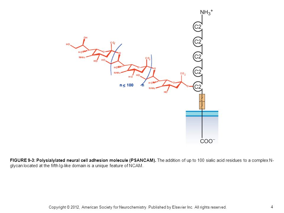FIGURE 9-3: Polysialylated neural cell adhesion molecule (PSANCAM)