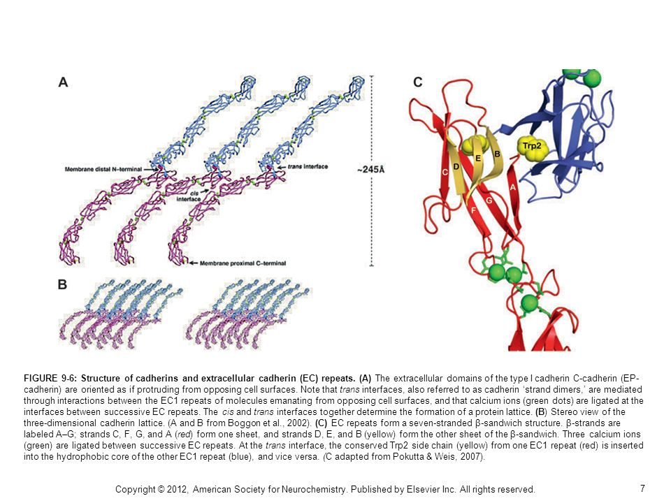 FIGURE 9-6: Structure of cadherins and extracellular cadherin (EC) repeats. (A) The extracellular domains of the type I cadherin C-cadherin (EP-cadherin) are oriented as if protruding from opposing cell surfaces. Note that trans interfaces, also referred to as cadherin 'strand dimers,' are mediated through interactions between the EC1 repeats of molecules emanating from opposing cell surfaces, and that calcium ions (green dots) are ligated at the interfaces between successive EC repeats. The cis and trans interfaces together determine the formation of a protein lattice. (B) Stereo view of the three-dimensional cadherin lattice. (A and B from Boggon et al., 2002). (C) EC repeats form a seven-stranded β-sandwich structure. β-strands are labeled A–G; strands C, F, G, and A (red) form one sheet, and strands D, E, and B (yellow) form the other sheet of the β-sandwich. Three calcium ions (green) are ligated between successive EC repeats. At the trans interface, the conserved Trp2 side chain (yellow) from one EC1 repeat (red) is inserted into the hydrophobic core of the other EC1 repeat (blue), and vice versa. (C adapted from Pokutta & Weis, 2007).
