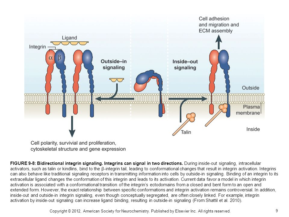 FIGURE 9-8: Bidirectional integrin signaling